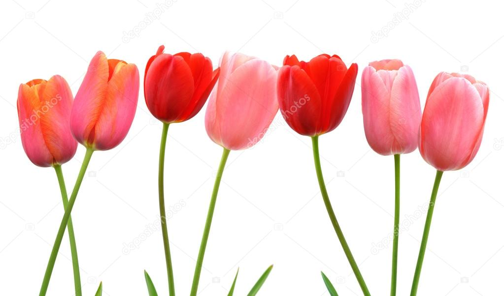 Row of pink and red spring tulip flowers on white background