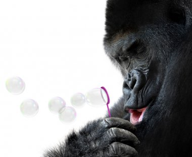 Unusual animal portrait of a gorilla blowing soap bubbles with a toy bubble wand