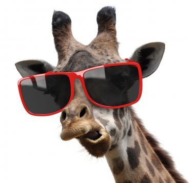 Funny vogue fashion portrait of a giraffe with modern hipster sunglasses