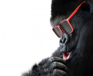 Unusual animal fashion, closeup of gorilla face with red sunglasses