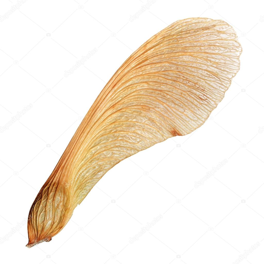 Isolated maple seed closeup macro with high detail — Stock