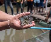 Fényképek Gömbhal hal a tengerben, Thaiföld