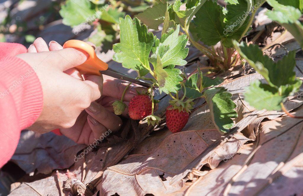 Store berries ripe strawberry.