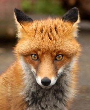 Red Fox, UK