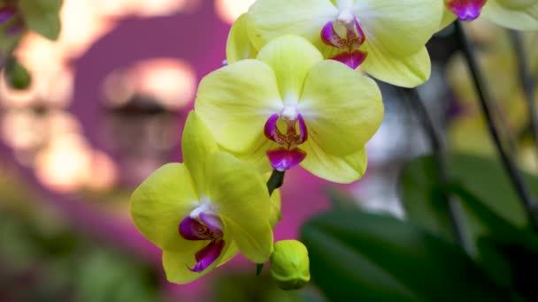 Szép sárga (rózsaszín) virágok. Közelkép a virág elejéről. Phalaenopsis orchidea. Vagy holdorchidea, lepke orchidea, Phalaenopsis amabilis..