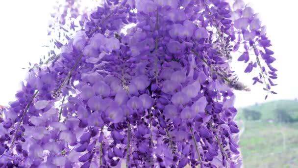 Visící fialové květy, Wisteria sinensis (Sims) Sweet. Wuling Farm, Tchaj-wan. 4k. Fialová čínská vistárie je druh kvetoucí rostliny v hrášku.