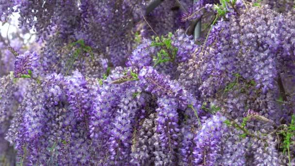 Visící fialové květy, Wisteria sinensis (Sims) Sweet. Včely lítají kolem. 4k. Fialová čínská vistárie je druh kvetoucí rostliny v hrášku.