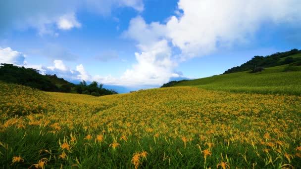 Divoké pomerančové květy Daylily kvetou po celých horách a polích. Fulvous day-lily, Orange day-lily, Lily, Day Lily, Tawny Daylily. Hualien, Taiwan. 2021