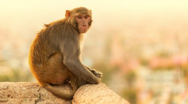 Macaque monkey at suset Monkey Temple, Jaipur.