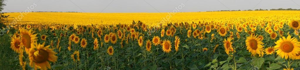 Sunflowers field panorama