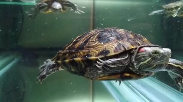 Két fiatal teknős úszkál az akváriumukban az otthonukban.