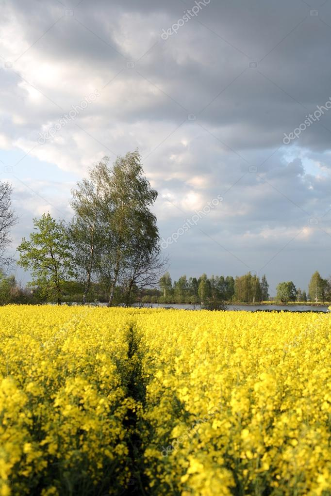 View Of Flowering Field Of Rapeseedplant For Green Energy And Oil