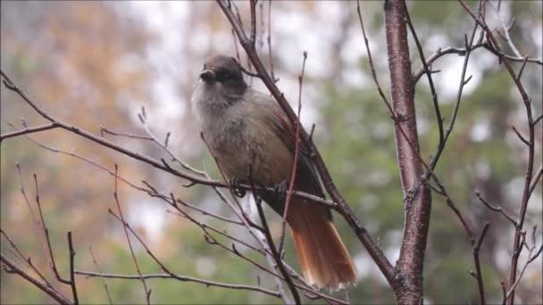 Niedlicher kleiner Taiga-Vogel, sibirischer Eichelhäher, Perisoreus infaustus thront in Nordfinnland und beobachtet die Umgebung.