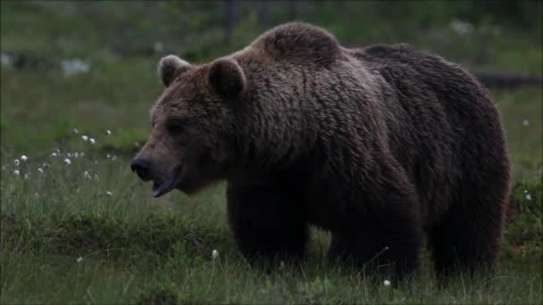 Nagy barna medve, Ursus arctos szaglászik egy tajga erdőben Észak-Finnországban.