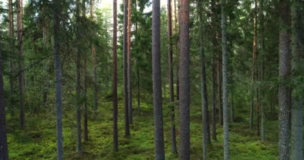 Pohyb starým borovým hájem s vysokými smrkovými stromy v estonském boreálním lese v severní Evropě koncem léta.