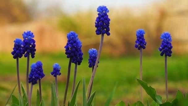 Hyacint modrý Modřenec květiny