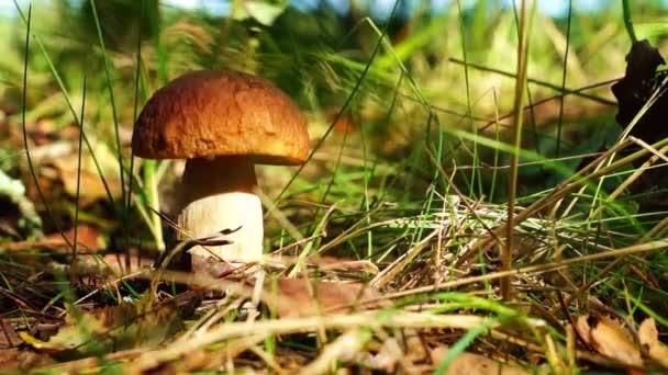 Cep a gomba az erdőben