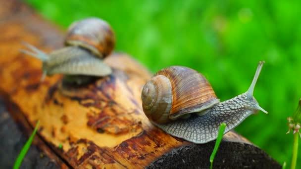 Grape snails creeping along lying beam