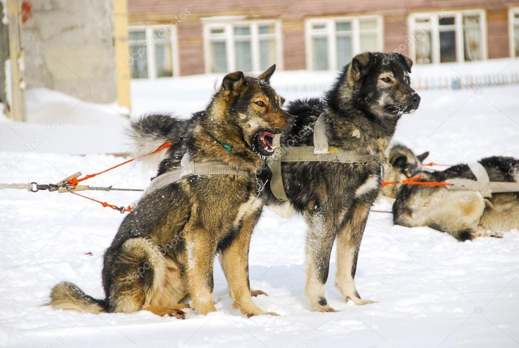 Dogs, sled dogs