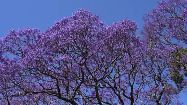 Blühender Jacaranda-Baum wiegt sich im Wind gegen einen blauen wolkenlosen Himmel.