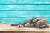 aranyos szürke macska