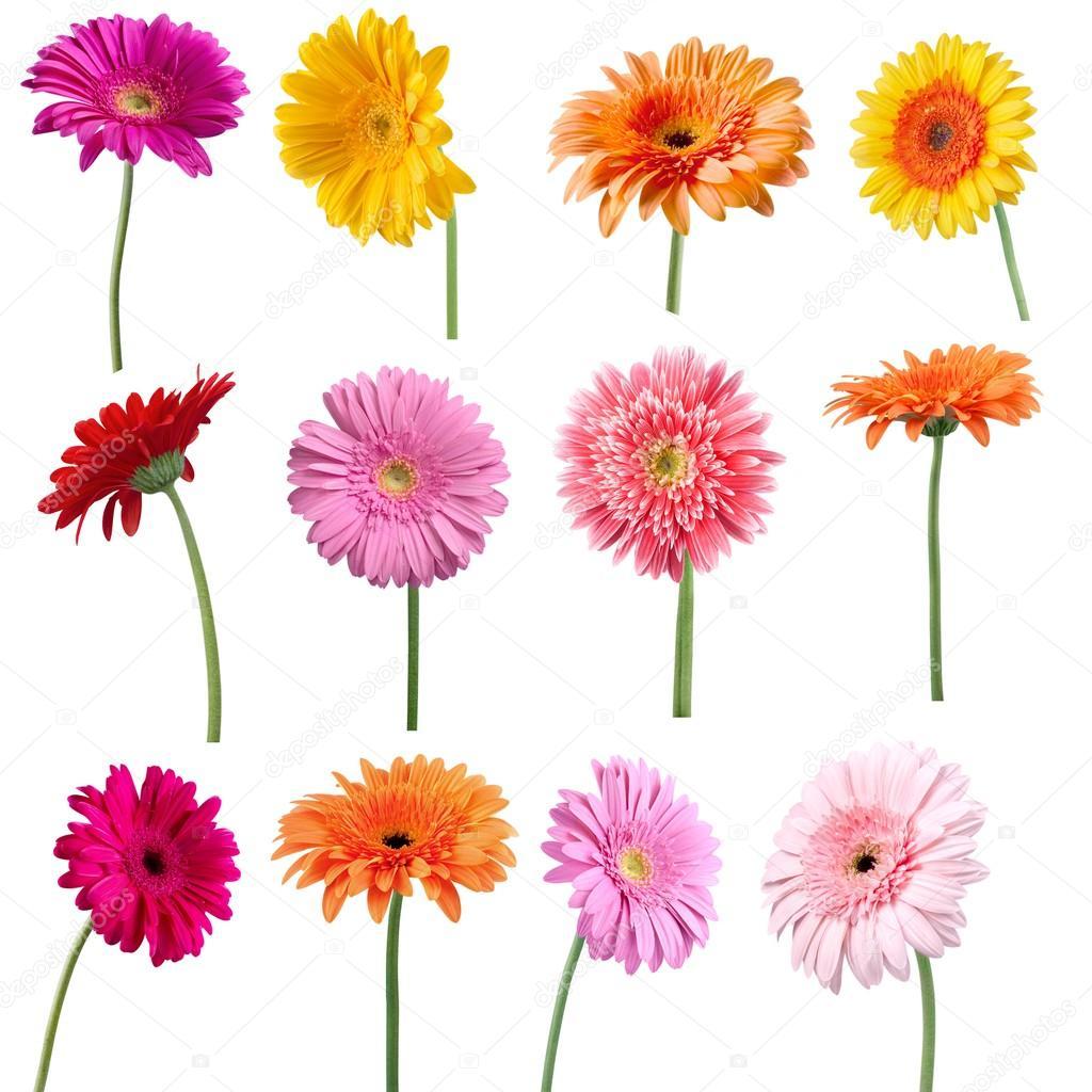 Collage Of Gerber Daisy Flower Stock Photo Billiondigital 114217730