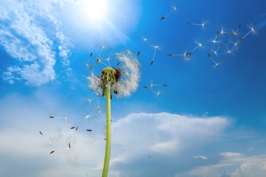 dandelion seeds isolated