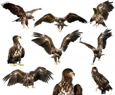 hawk isolated on  background