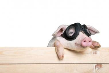 piglet animal in aviator glasses