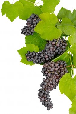 Dark grapes, Isolated