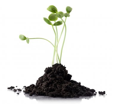 green clover plant growing