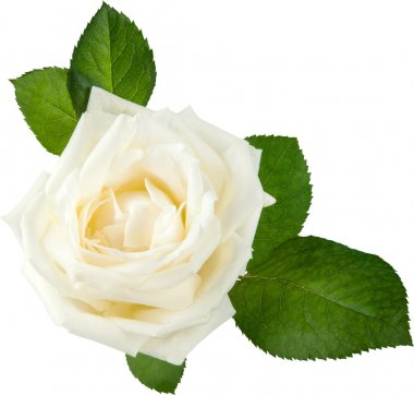 single white Rose isolated