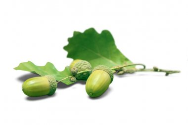 Fresh green acorns