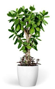 plant Crassula in a flower pot