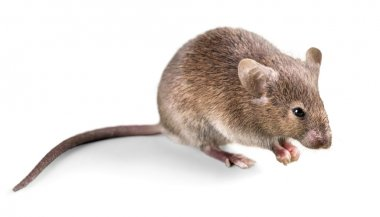 gray mouse   on  background