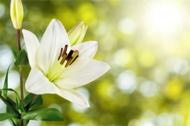 beautiful white lily
