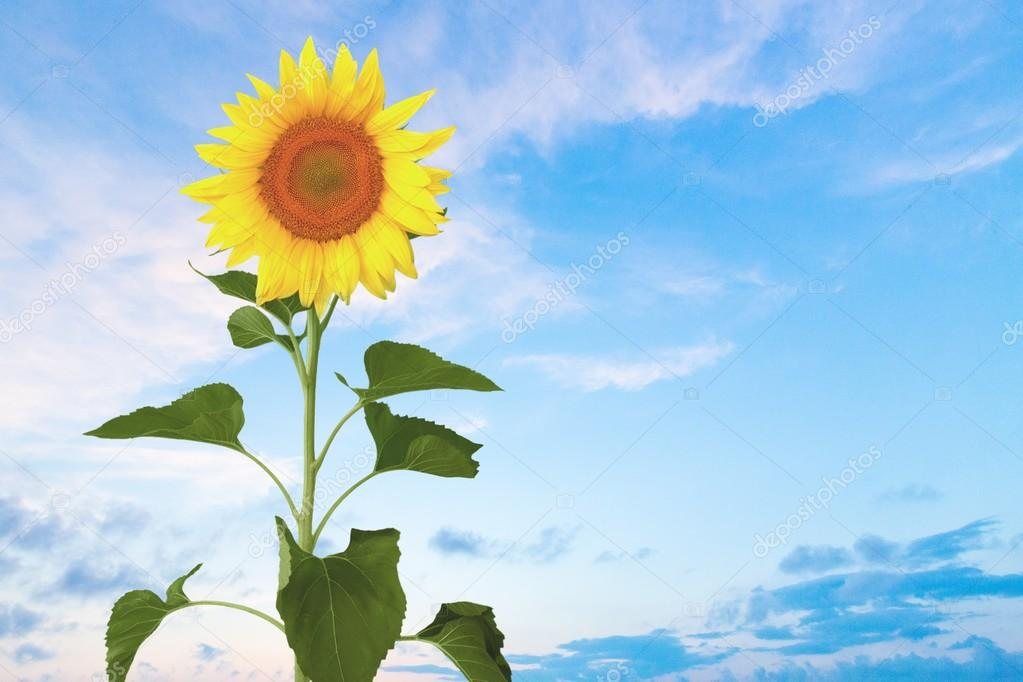 Izole Ayçiçeği Tek çiçek Stok Foto Billiondigital 73938657