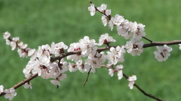 Tavasszal virágzó sárgabarack virág
