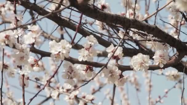 Meruňkový květ kvete na jaře