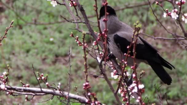 Crow sedí na kvetení meruněk a jíst kvetoucí květiny