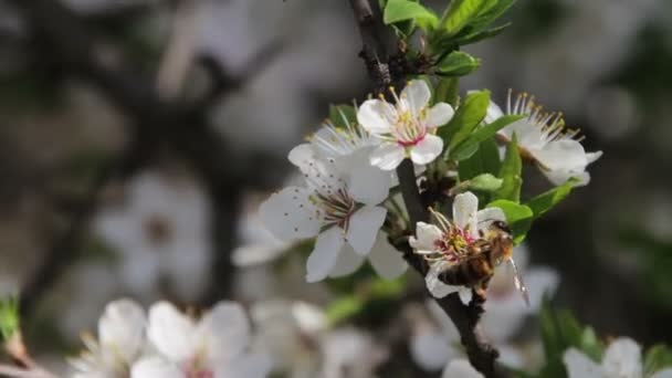 Apricot Flower Blooming and Bee in Spring