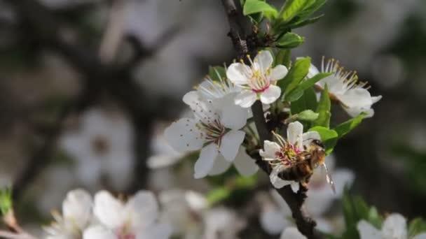 Meruňkovým kvetení a včely na jaře