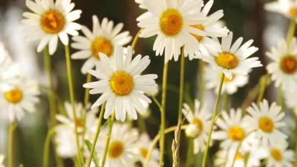 heřmánku květiny v slunečný den