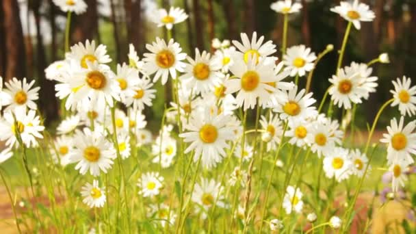 Chamomile Flowers on a Sunny Day