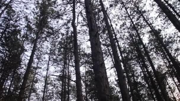 Fenyőerdő és nyári forgatás fák