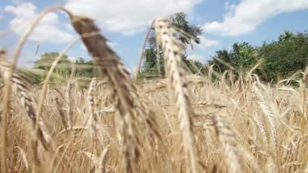 Pšeničné pole a klásky