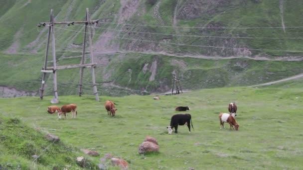 mucche al pascolo su un pascolo di montagna