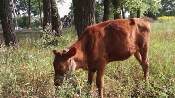 Kuh weidet auf dem Feld