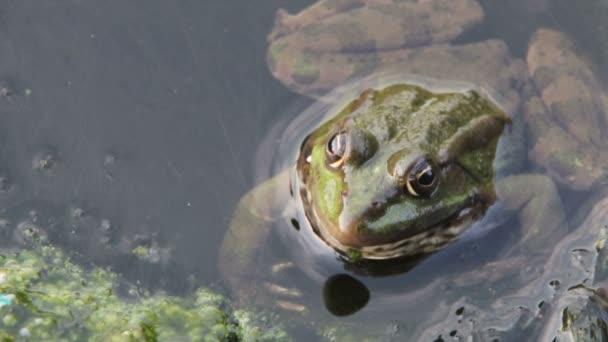 žába v řece
