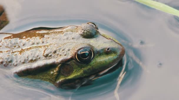 Frosch im Fluss